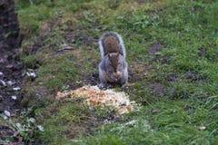 Σκίουρος στο πάτωμα πάρκων Στοκ εικόνα με δικαίωμα ελεύθερης χρήσης