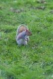 Σκίουρος στο πάτωμα πάρκων Στοκ φωτογραφίες με δικαίωμα ελεύθερης χρήσης