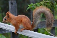 Σκίουρος στο φράκτη Στοκ φωτογραφία με δικαίωμα ελεύθερης χρήσης