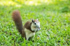 Σκίουρος στο φυσικό Στοκ Εικόνες