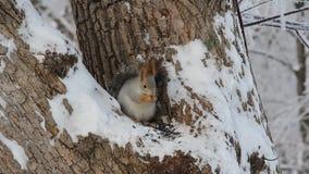 Σκίουρος στο χειμερινό πάρκο απόθεμα βίντεο