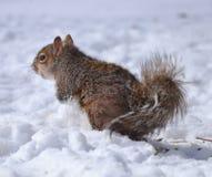 Σκίουρος στο χιόνι Στοκ Εικόνα