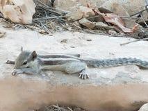 Σκίουρος στο χρόνο ανάπαυλας στοκ εικόνες