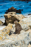 Σκίουρος στο Drive 17 μιλι'ου στην παραλία Καλιφόρνια χαλικιών Στοκ φωτογραφία με δικαίωμα ελεύθερης χρήσης