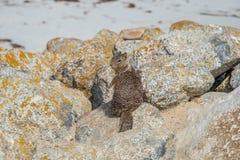 Σκίουρος στο Drive 17 μιλι'ου στην παραλία Καλιφόρνια χαλικιών στοκ εικόνα με δικαίωμα ελεύθερης χρήσης