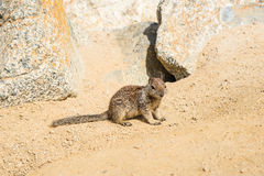 Σκίουρος στο Drive 17 μιλι'ου στην παραλία χαλικιών Στοκ φωτογραφία με δικαίωμα ελεύθερης χρήσης