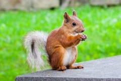 σκίουρος συνεδρίασης Στοκ φωτογραφία με δικαίωμα ελεύθερης χρήσης
