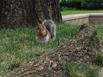 Σκίουρος της Νέας Υόρκης στοκ φωτογραφίες με δικαίωμα ελεύθερης χρήσης