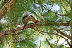 Σκίουρος της Φλώριδας στο δέντρο που τρώει το πεύκο Στοκ Φωτογραφίες