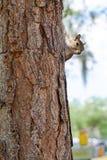 Σκίουρος της Φλώριδας στο δέντρο Στοκ Εικόνα