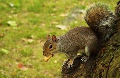 Σκίουρος του Λονδίνου Στοκ Φωτογραφία