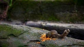 Σκίουρος του Παλλάς που τρώει τα τρόφιμα στο βράχο του δάσους στοκ εικόνα
