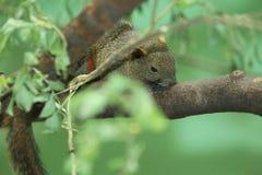 Σκίουρος του Παλλάς Στοκ εικόνες με δικαίωμα ελεύθερης χρήσης