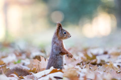 Σκίουρος το φθινόπωρο Στοκ Εικόνες