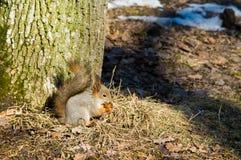 Σκίουρος το χειμώνα, άγρια φύση στοκ εικόνες