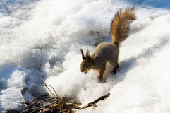 Σκίουρος το χειμώνα, άγρια φύση στοκ φωτογραφία