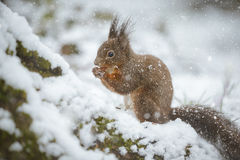 Σκίουρος το χειμώνα στοκ φωτογραφία με δικαίωμα ελεύθερης χρήσης