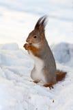 σκίουρος χιονιού Στοκ Εικόνα
