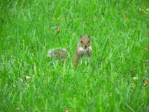 σκίουρος χλόης Στοκ φωτογραφία με δικαίωμα ελεύθερης χρήσης