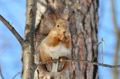 σκίουρος Στοκ Φωτογραφία