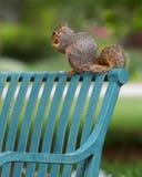 σκίουρος στοκ φωτογραφίες