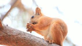 Σκίουρος απόθεμα βίντεο