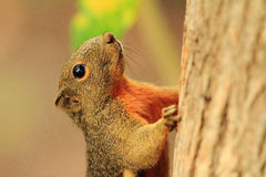 Σκίουρος Στοκ εικόνα με δικαίωμα ελεύθερης χρήσης