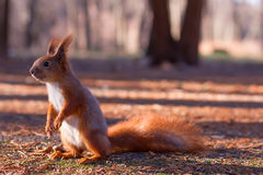 Σκίουρος Στοκ Εικόνες