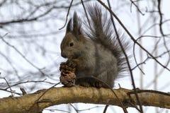 Σκίουρος Στοκ φωτογραφίες με δικαίωμα ελεύθερης χρήσης