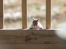 Σκίουρος (1) Στοκ Εικόνες