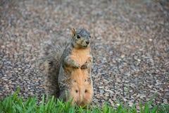 σκίουρος 3 Στοκ φωτογραφία με δικαίωμα ελεύθερης χρήσης