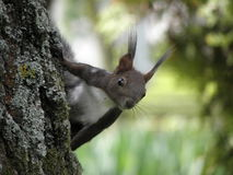 Σκίουρος Στοκ Εικόνα