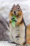 Σκίουρος Chipmunk Στοκ Εικόνες