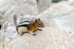 Σκίουρος Chipmunk Στοκ Φωτογραφίες