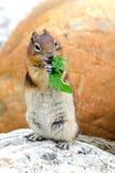 Σκίουρος Chipmunk Στοκ φωτογραφία με δικαίωμα ελεύθερης χρήσης