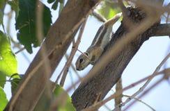 Σκίουρος harrisii Ammospermophilus αντιλοπών Harris ` s το καλοκαίρι Νέων Μεξικό στοκ φωτογραφία με δικαίωμα ελεύθερης χρήσης