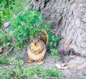 Σκίουρος Munching αλεπούδων στα φυστίκια στο μεγαλύτερο πάρκο Ottumwa Στοκ εικόνα με δικαίωμα ελεύθερης χρήσης