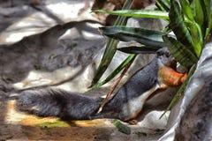 Σκίουρος Prevost Στοκ εικόνα με δικαίωμα ελεύθερης χρήσης