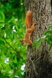 Σκίουρος redhead σε ένα δέντρο το καλοκαίρι Στοκ φωτογραφία με δικαίωμα ελεύθερης χρήσης