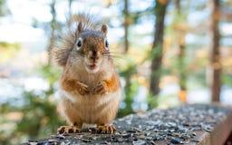 Σκίουρος Req που ψάχνει το πρόγευμα Στοκ Εικόνες