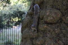 Σκίουρος - Sciuridae - φύση Στοκ εικόνα με δικαίωμα ελεύθερης χρήσης