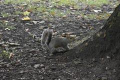 Σκίουρος - Sciuridae - φύση Στοκ Εικόνες