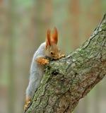 σκίουρος sciurus Στοκ Φωτογραφίες