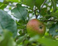 Σκίσιμο της Apple σε ένα δέντρο της Apple Στοκ Φωτογραφία