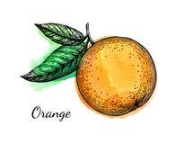 Σκίτσο μελανιού του πορτοκαλιού στο υπόβαθρο watercolor Στοκ φωτογραφίες με δικαίωμα ελεύθερης χρήσης