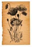 Σκίτσο λουλουδιών σε παλαιό χαρτί Στοκ Εικόνα