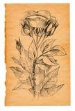 Σκίτσο λουλουδιών σε παλαιό χαρτί Στοκ εικόνες με δικαίωμα ελεύθερης χρήσης