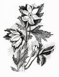 Σκίτσο λουλουδιών στο λευκό Στοκ Φωτογραφία
