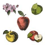 Σκίτσο της Apple Εκλεκτής ποιότητας συρμένο χέρι διάνυσμα μελανιού των διαφορετικών μήλων, που απομονώνεται στο άσπρο υπόβαθρο Στοκ Εικόνα