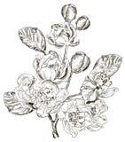 Σκίτσο του κλάδου του λουλουδιού άνοιξη Στοκ εικόνες με δικαίωμα ελεύθερης χρήσης